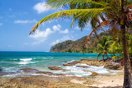 Green palm tree on the coast of La Miel, Panama on the Caribbean Sea photo
