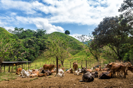 Herd of cattle with lush green hills  photo