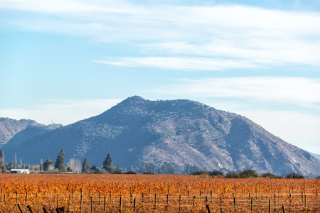 Red vineyard in fall with a hill in the background near Santiago, Chile Stock Photo
