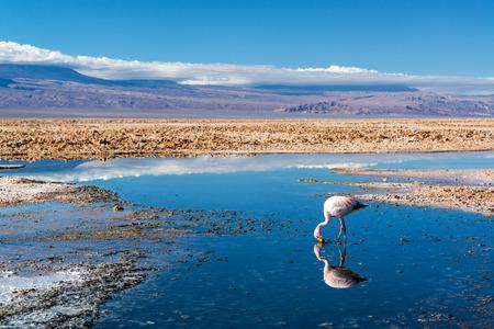 산 페드로 드 아타 카마, 칠레 근처 호수 Chaxa에서 안데스 홍학의 근접 촬영