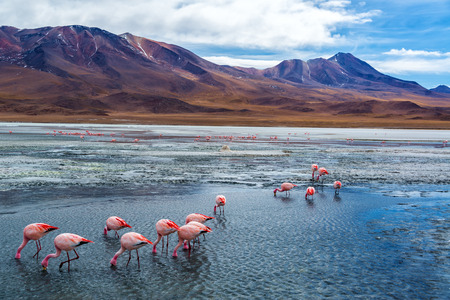 Pink flamingoes in Lake Hedionda in the high plains of Bolivia with Andean mountains in the background photo