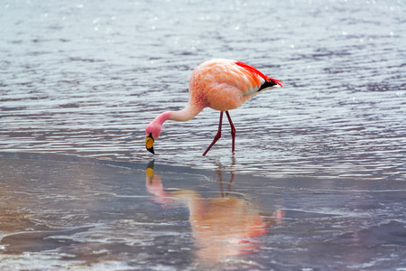 Flamingo with reflection visible in ice in Lake Hedionda in the high plains of Bolivia photo