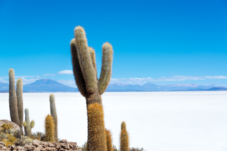 desert island: Cactus on Island Incahuasi with the Uyuni Salt Flats visible below in Bolivia