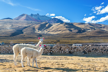 llama: Two white llamas with a dramatic volcano rising in the background in the town of Coqueza near Uyuni, Bolivia