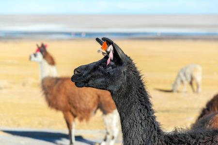 Closeup of a black llama with other llamas visible in the background near Uyuni, Bolivia photo