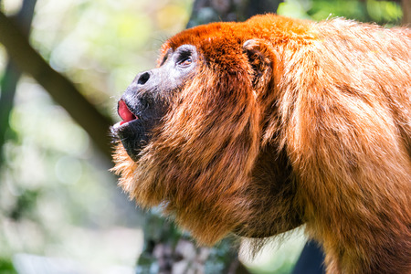 howler: Alpha male of a red howler monkey pack in the jungle near Coroico, Bolivia Stock Photo
