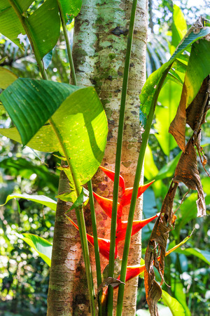 heliconia: Red heliconia flower in the Amazon rainforest in Madidi National Park near Rurrenabaque, Bolivia