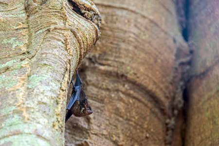 fruit bat: Small bat hanging in a tree in Madidi National Park in the Amazon rainforest in Bolivia