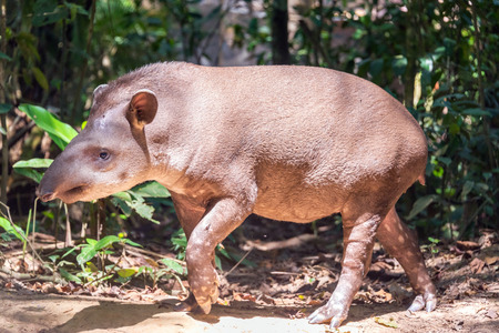 amazon forest: Brazilian Tapir walking in Madidi National Park in the Amazon rainforest near Rurrenabaque, Bolivia