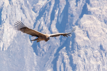 Andean Condor flying in the Colca Canyon near Arequipa, Peru