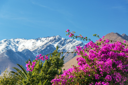 vicuna: Purple Bougainvillea flowers with the Andes Mountain Range in the background in Vicuna, Chile