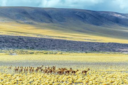 san pedro: Herda of Vicunas near San Pedro de Atacama, Chile