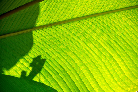 broad leaf: Shadows and light on a broad green leaf near Mindo, Ecuador