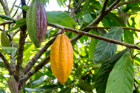 Cocoa pods on a cacao tree in Mindo, Ecuador Stock Photo