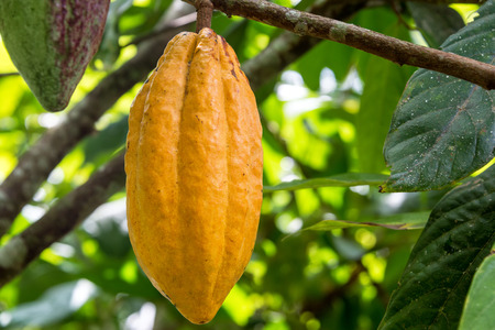 cocoa fruit: Ripe cocoa pod on a cacao tree in Mindo, Ecuador