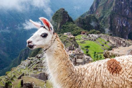 llama: Llama blocking the view of Machu Picchu in Peru Stock Photo