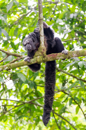 saki: Monk Saki monkey in a tree in the Amazon Rainforest with long bushy tail visible