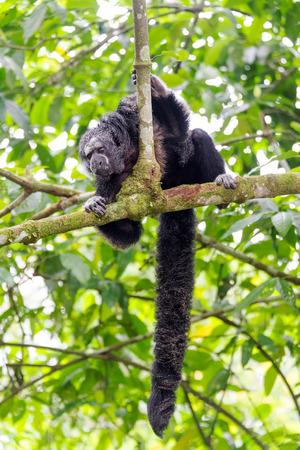 saki: Monk Saki monkey in a tree in the Amazon Rainforest with long bushy tail visible