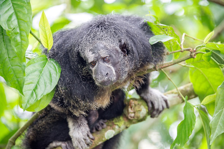 saki: Monk Saki monkey in a tree in the Amazon Rainforest near Iquitos, Peru Stock Photo