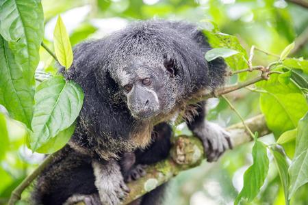 saki: Monk Saki monkey in a tree in the Amazon Rainforest near Iquitos, Peru Stock Photo