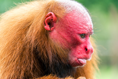 red animal: Closeup view of the face of a Bald Uakari monkey in the Amazon Rainforest near Iquitos, Peru