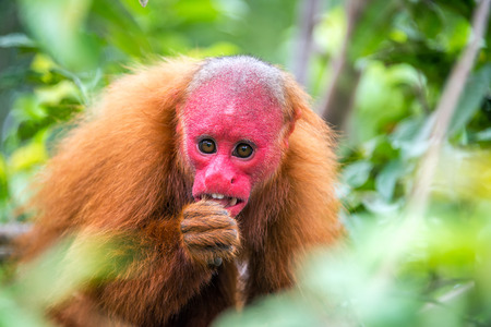 rare animals: View of a Bald Uakari monkey in trees in the Amazon Rainforest near Iquitos, Peru Stock Photo