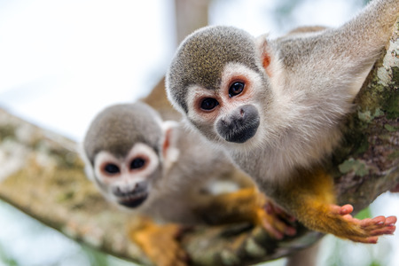 View of two squirrel monkeys looking at the camera with on in focus and one out of focus in the Amazon rainforest in Colombia