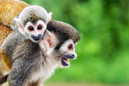 monkey face: Two squirrel monkeys, a mother and her child in the Amazon rainforest near Leticia, Colombia