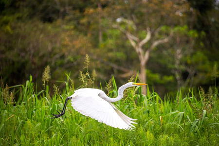 amazon rainforest: View of a great white heron taking off in the Amazon rainforest in Peru