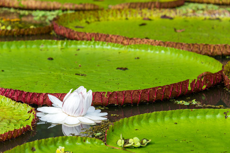 aquatic plant: Flower of the Victoria Amazonica, or Victoria Regia, the largest aquatic plant in the world in the Amazon Rainforest in Peru