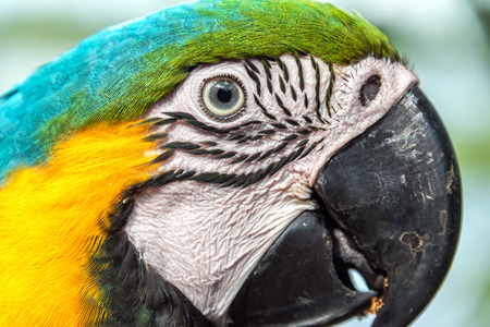 amazon forest: Closeup view of the face of a Blue and yellow Macaw in the Amazon rainforest of Brazil Stock Photo