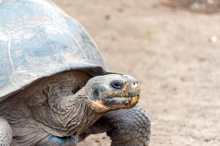 tortuga: Tortuga gigante en la isla Isabela en las Islas Galápagos en Ecuador