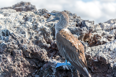 boobie: Blue Footed Booby in the Galapagos Islands with its mouth open