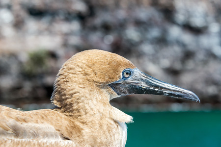 birding: Closeup view of the face of a juvenile red footed booby on Genovesa Island in the Galapagos Islands in Ecuador