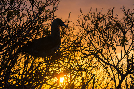 booby: Beautiful sunset with the silhouette of a Red Footed Booby on Genovesa Island in the Galapagos Islands Stock Photo