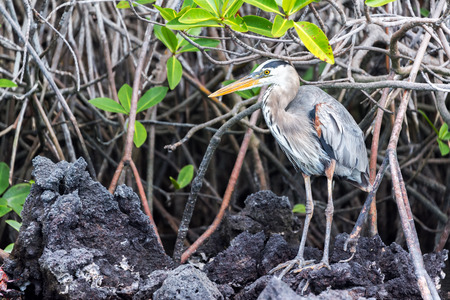 subspecies: Great Blue Heron standing among a mangrove on Isabela Island in the Galapagos Islands Stock Photo