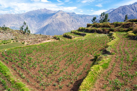 deepest: View of a field of corn in Colca Canyon in Peru Stock Photo