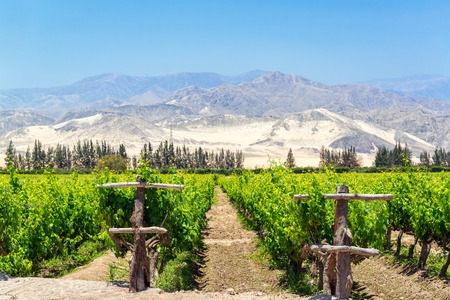 Lush green vineyard for the production of pisco in Ica, Peru with dry sand covered hills in the background