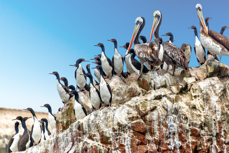 cormorants: Brown pelicans and guanay cormorants on a rock in the Ballestas Islands near Paracas, Peru