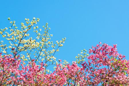 flor cerezo: flores de color rosa y blanco cereza contra un hermoso cielo azul en Portland Oregon