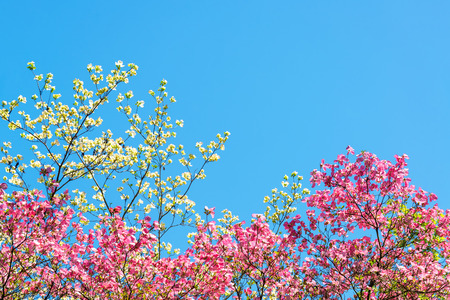 blossom tree: Pink and white cherry blossoms against a beautiful blue sky in Portland Oregon
