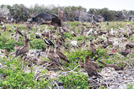 boobies: Juvenile red footed boobies in a large nesting site in Genovesa Island in the Galapagos Islands in Ecuador