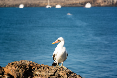 boobie: Nazca Booby on a rock with an out of focus background on Genovesa Island in the Galapagos Islands in Ecuador