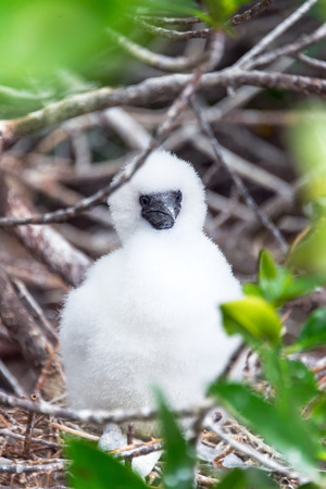 boobie: Fluffy white red footed booby chick on Genovesa Island in the Galapagos Islands in Ecuador Stock Photo