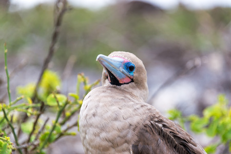 booby: Closeup of the face of a red footed booby in the Galapagos Islands in Ecuador Stock Photo