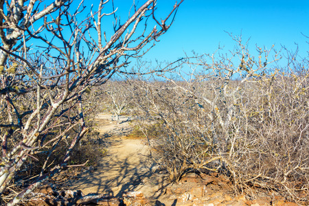 gnarled: Landscape of dry twisted gnarled trees on Genovesa Island in the Galapagos Islands in Ecuador