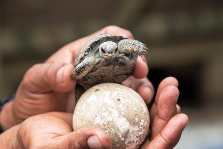 tortuga: Bebé tortuga gigante y el huevo en la isla Isabela en las Islas Galápagos
