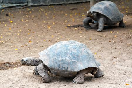 TORTOISE: Two giant tortoises on Isabela Island in the Galapagos Islands in Ecuador Stock Photo