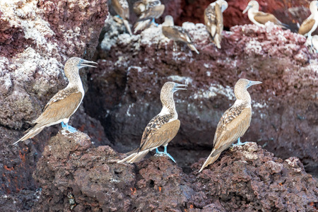 boobies: Three blue footed boobies on a rock on Isabela Island in the Galapagos Islands in Ecuador Stock Photo