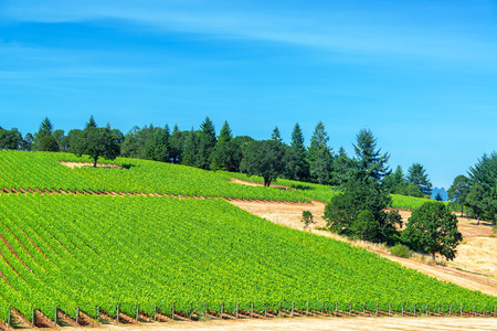 wine country: Vineyard in Oregon wine country with pine trees visible in the landscape near Dundee